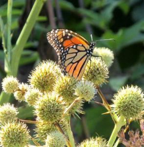 monarch on rattlesnake master